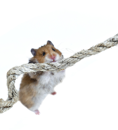 scrambling: Brown Syrian hamster climbing on a rope isolated on a white background