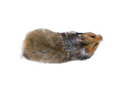 thrifty: Brown Syrian hamster isolated on white background view from above