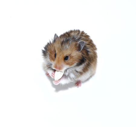 thrifty: Brown Syrian hamster eating pumpkin seeds isolated on white background Stock Photo