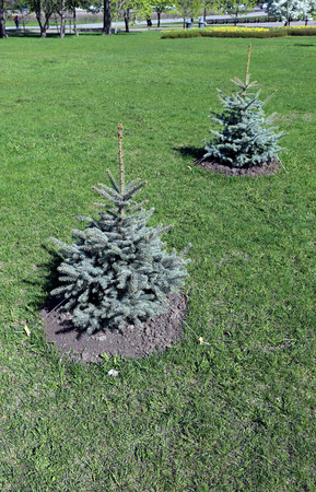 planted: Young planted seedling blue spruce in summer day Stock Photo