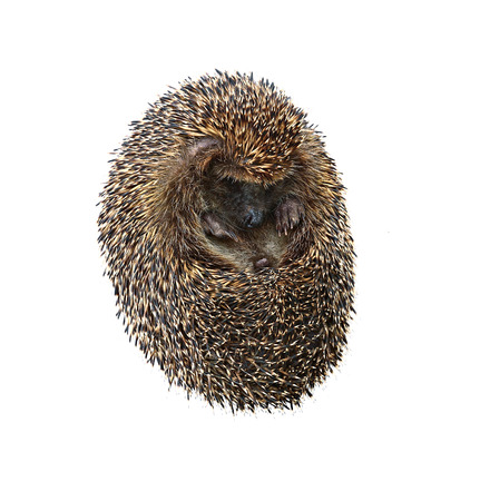 convolute: Little forest hedgehog lying on his back isolated on white background