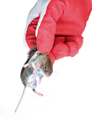 disinfectant: Grey mouse holding by the scruff in hand disinfectant worker in the glove closeup isolated