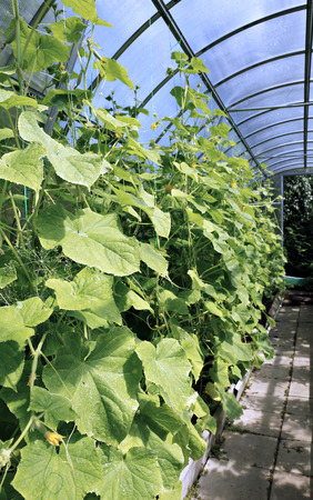 polycarbonate: Cucumber plants in a greenhouse made of transparent polycarbonate Stock Photo