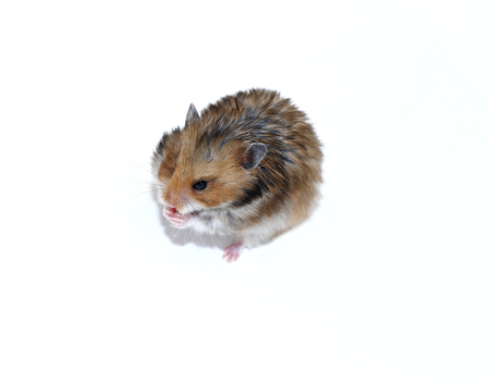 thrifty: Brown Syrian hamster eating isolated on white background Stock Photo