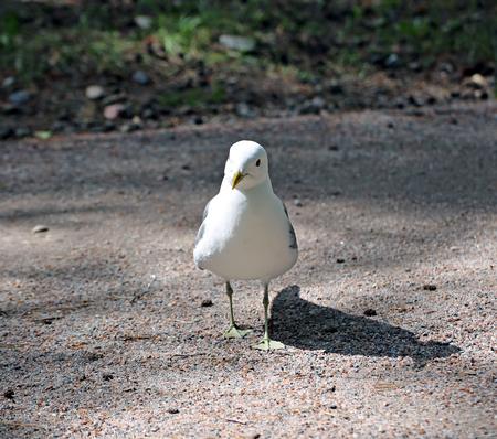 park path: Mediterranean white seagull on a park path Stock Photo