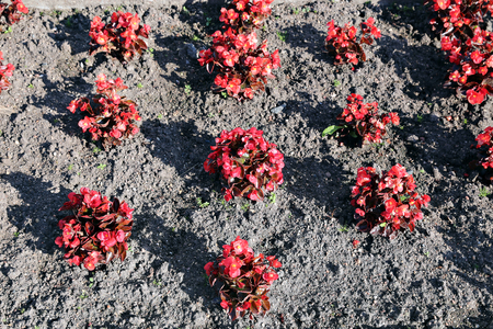 tuberous: Red flowers tuberous begonias on the flowerbed in the garden