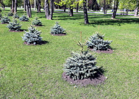 planted: Alley of the young planted seedlings blue spruce