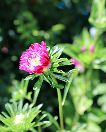 aster flowers: Red aster flowers in the garden in summer Stock Photo