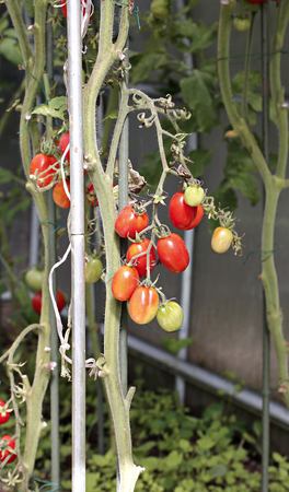 ripening: Red tomatoes ripening in a greenhouse made of transparent polycarbonate