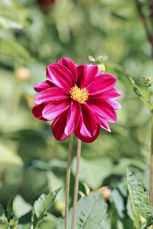 georgina: Red flower dahlia garden in summer