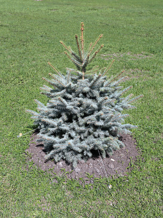 planted: Young planted seedling blue spruce