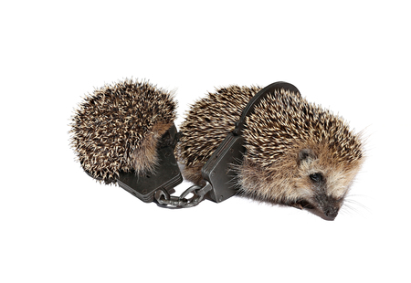 buttoned: Two small hedgehogs, held together buttoned handcuffs isolated on white background