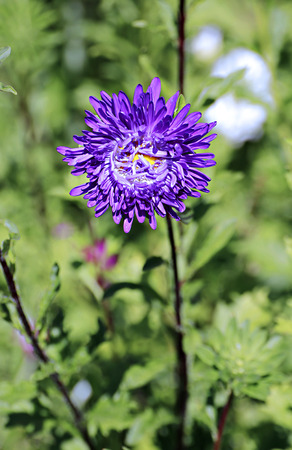 floriculture: Violet aster flowers in the garden in summer