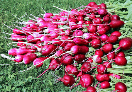 yielding: Many fresh radish with leaves on the grass