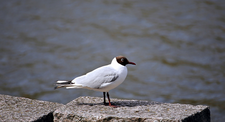 black feathered: Black-headed white seagull sitting on the pier