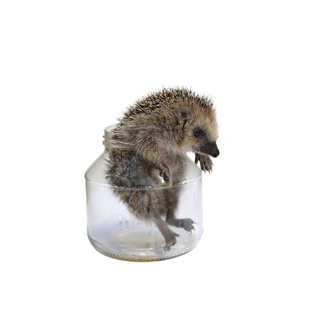 scratchy: Forest wild hedgehog comes out of a glass jar isolated on white background Stock Photo