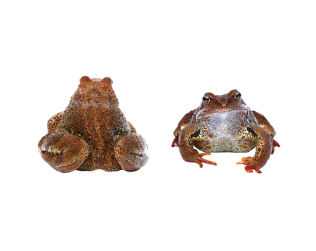 lumpy: Brown frog from the front and from the back isolated on white background