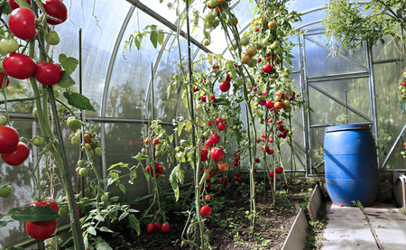 polycarbonate: Red tomatoes ripening in a greenhouse made of transparent polycarbonate