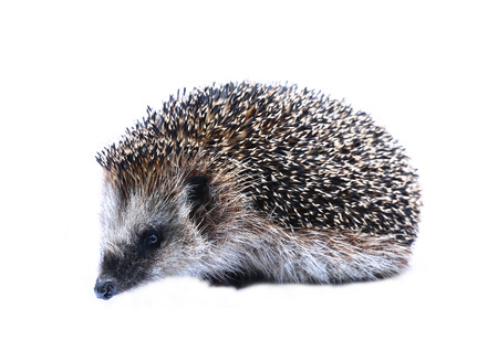 stabbing: Forest wild hedgehog isolated on white background