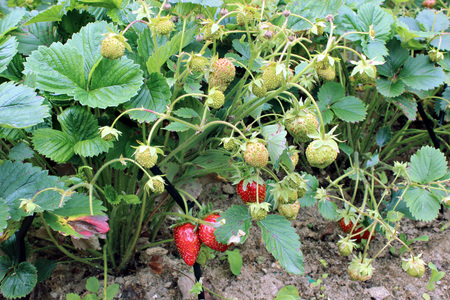 matures: Strawberries ripens on the bush in the garden