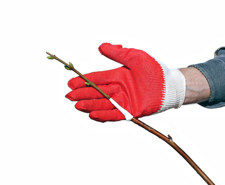 an inoculation: Gardener makes the inoculation branch a tree sapling isolated on a white background
