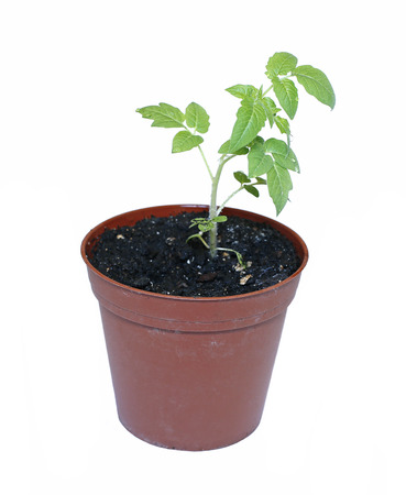 transplanted: Young plant tomato seedlings in flowerpot isolated on white background