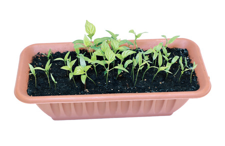 flower box: Young sprout pepper seedlings in a plastic flower box isolated on white background Stock Photo