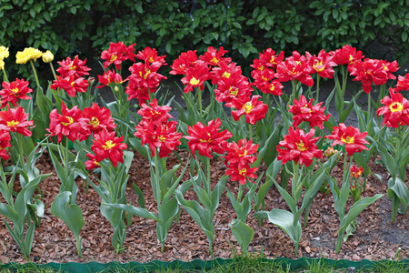 terry: Many of bright red terry tulips on a flowerbed