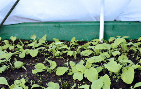 sheltered: The gardenbed with radish sprouts, sheltered white geotextile for warming in early spring