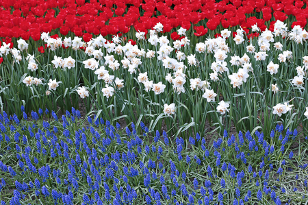 flowerbed: Flowerbed with three colored flowers red tulips, white Narcissus and blue Muscari at spring