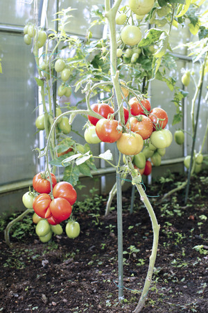 elongated: Red tomatoes in a greenhouse made of transparent polycarbonate