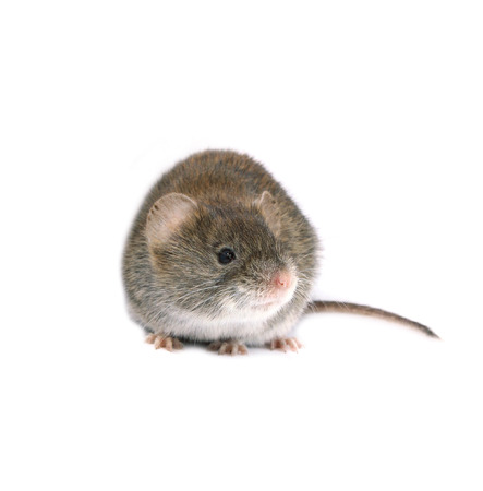 vole: Little brown mouse isolated on white background