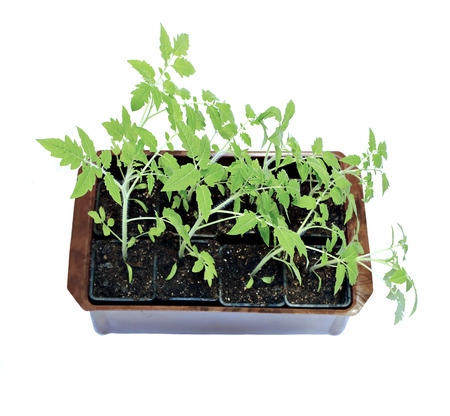 transplanted: Young plants tomato seedlings in flowerpot isolated on white background