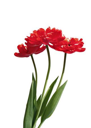 Kytice z červeného froté, multilobální tulipány izolovaných na bílém pozadí