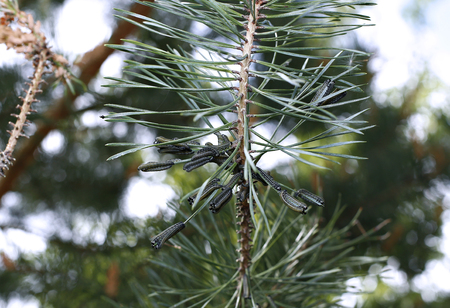 devour: Caterpillars infest on pine branch pests destroy needles Stock Photo