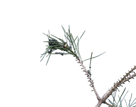 Caterpillars infest on pine branch pests destroy needles Stock Photo