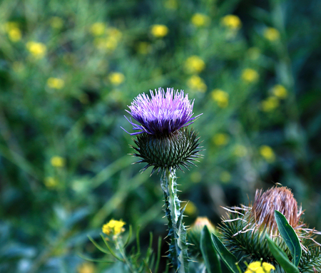 stabbing: Bush of blooming prickly thistle in wild nature