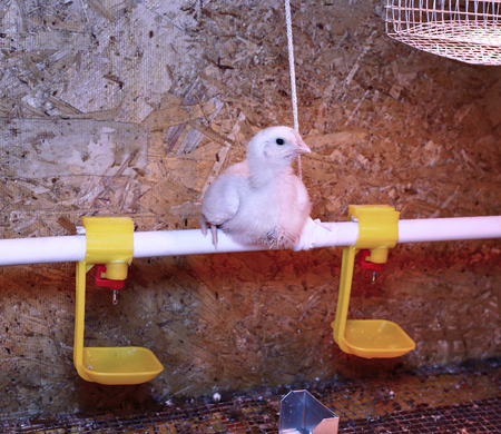 brooder: Young broiler chicken is heated by an infrared lamp in brooder cage