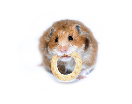 Funny brown hamster with a round bagel in the teeth isolated on white background