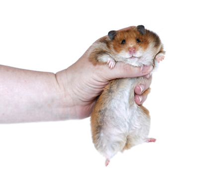 syrian: Funny Brown Syrian hamster in a female hand isolated on white background Stock Photo