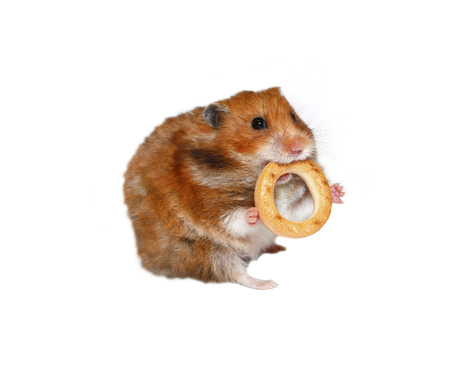 baranka: Funny brown hamster with a round bagel in the teeth isolated on white background