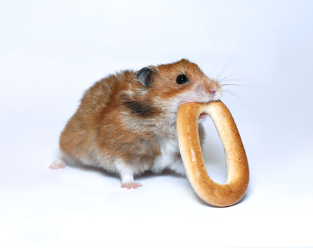 Funny brown hamster with a round bagel in the teeth
