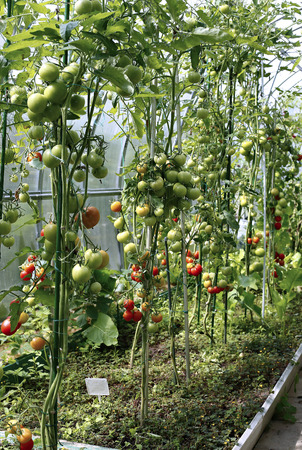 elongated: Ripening tomatoes in a greenhouse made of transparent polycarbonate Stock Photo