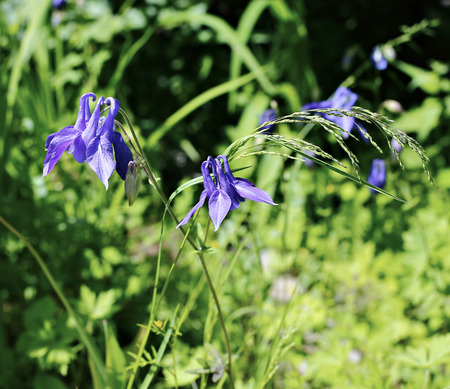 Delicate blue flowers of Aquilegia (Catchment Olympic) in the garden