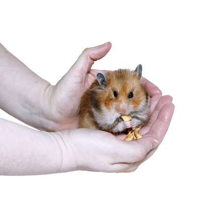 Brown Syrian hamster eating, stuffing food in cheeks, in female hands isolated on white background