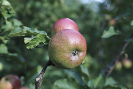 columnar: Juicy apples on a branch columnar apple trees in the garden