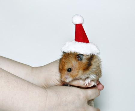 Brown hamster in the cap of Santa Claus in hands