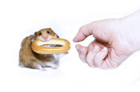 Funny brown hamster with a round bagel in the teeth takes from the hand