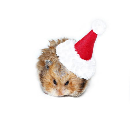 santa hamster: Brown hamster in the cap of Santa Claus isolated on white background Stock Photo