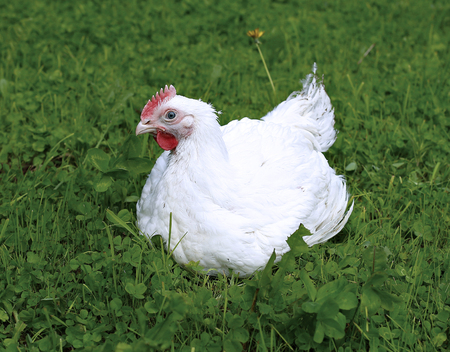 Broiler chicken walks on a green lawn Stockfoto